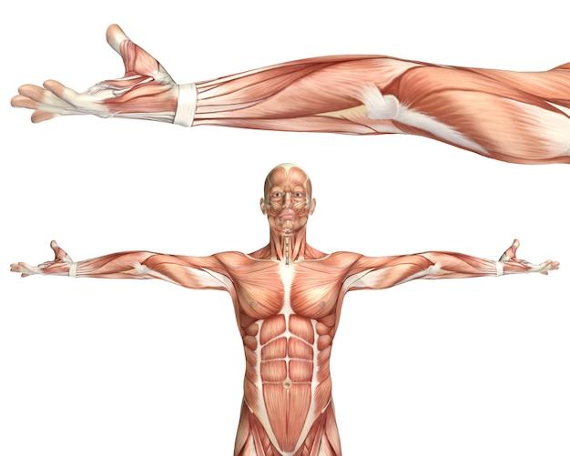 Medizinische zahl 3d, die ellbogen supination zeigt
