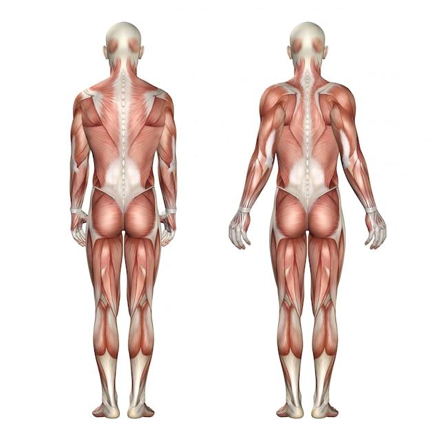 Medizinische zahl 3d, die schulterblattverlängerung und -retraktion zeigt