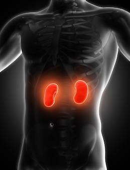 Medizinisches bild 3d, das nieren zeigt