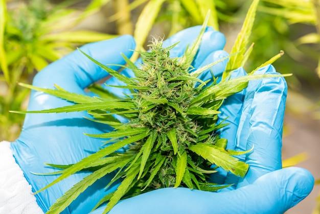 Medizinisches marihuana in cannabis blume vor der ernte konzept der pflanzlichen alternativmedizin, cbd öl, medizinindustrie in einem gewächshaus.