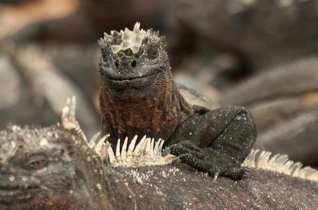 Meerechsen (amblyrhynchus cristatus), punta espinoza, insel fernandina, galapagos-inseln, ecuador