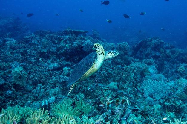 Meeresschildkröte auf einem tropischen korallenriff