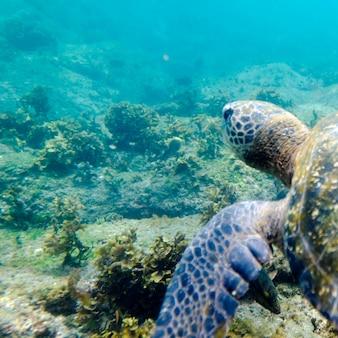 Meeresschildkröte, die unter wasser, puerto egas, santiago-insel, galapagos-inseln, ecuador schwimmt