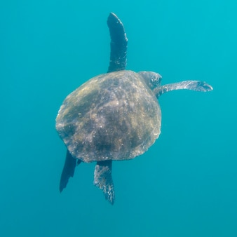 Meeresschildkröte, die unter wasser, tagus-bucht, isabela-insel, galapagos-inseln, ecuador schwimmt