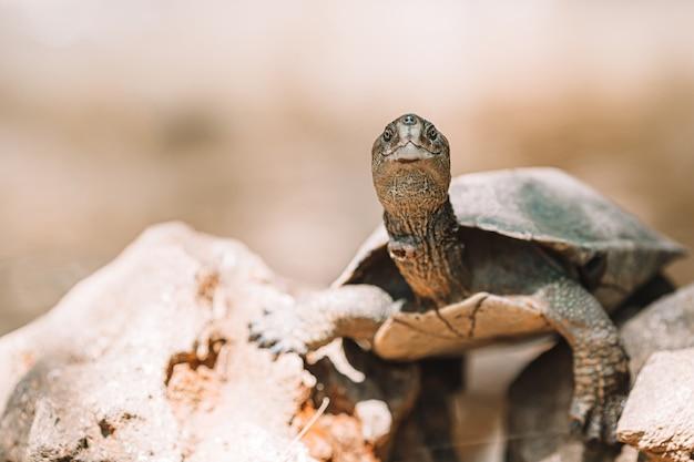 Meeresschildkröten, die vom wasser im reservat schauen