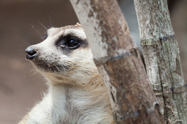 Meerkat gefunden in khao kheow open zoo, thailand