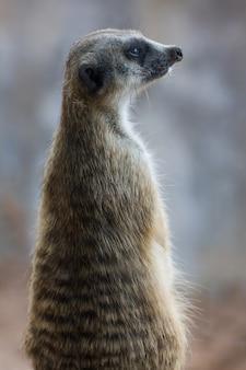 Meerkat (surikate) schauend im allgemeinen park