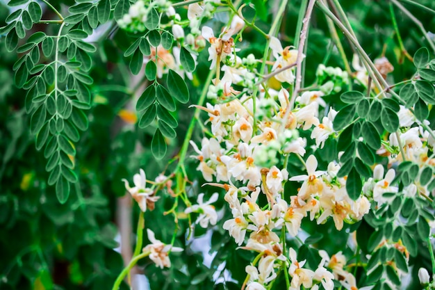 Meerrettichbaum oder trommelstock hat weiße und gelbe orange blume
