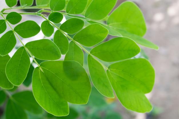 Meerrettichbaum, trommelstockgrün lässt hintergrund