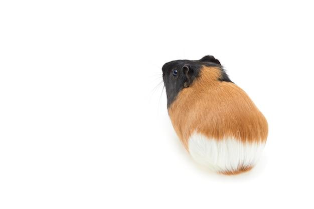Meerschweinchen cavia porcellus ist ein beliebtes haustier junges tricolor meerschweinchen auf weißem hintergrund isoliert...