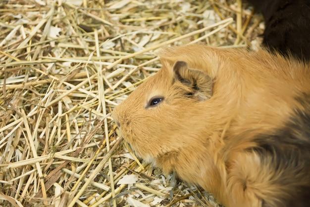 Meerschweinchen cavia porcellus ist ein beliebtes haustier.