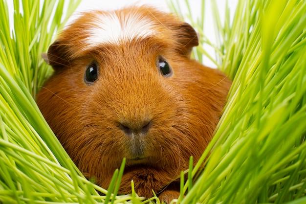 Meerschweinchen, das unter grünem gras sich versteckt