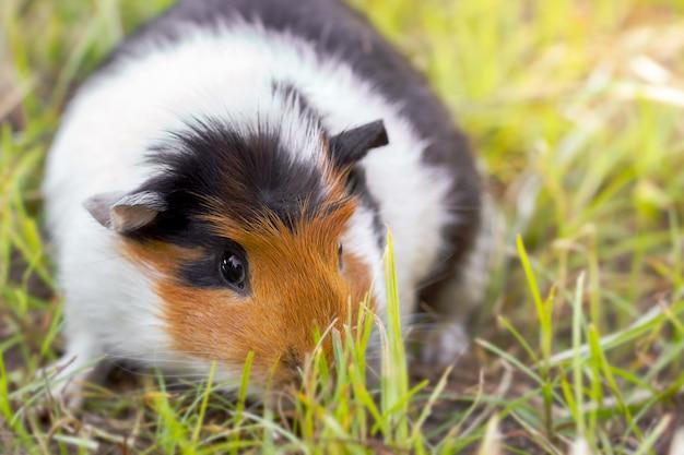 Meerschweinchen isst morgens gras am rasen.