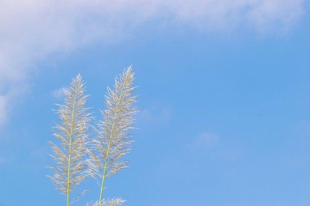 Mehrere gelbe schilfrohre stehen unter blauem himmel und weißen wolken