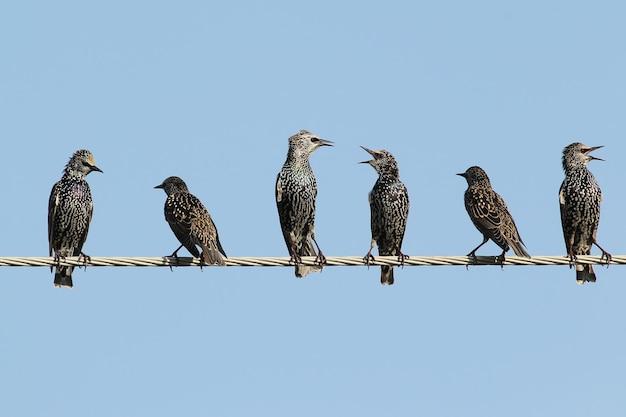 Mehrere gemeine stare sitzen auf drähten und streiten.