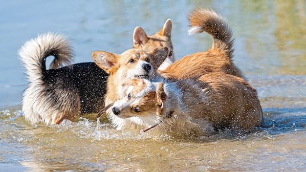 Mehrere glückliche walisische corgi-hunde spielen und springen im wasser am sandstrand, der hund schüttelt das wasser nach dem schwimmen