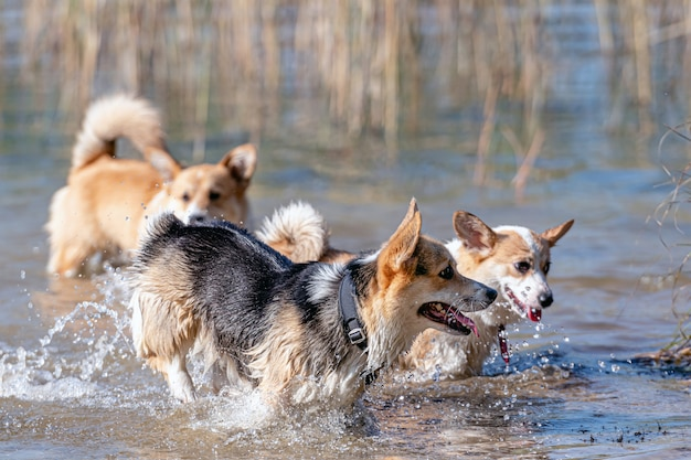 Mehrere glückliche walisische corgi-hunde spielen und springen im wasser am sandstrand