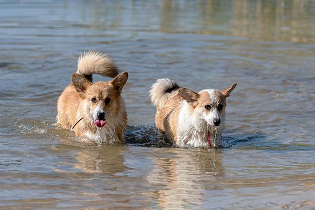 Mehrere glückliche walisische corgi pembroke-hunde spielen und springen im wasser am sandstrand