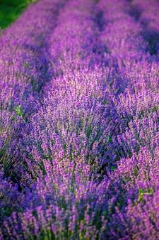 Mehrere lavendelbüsche mit lila blüten, die auf einem feld in moldawien aufwachsen