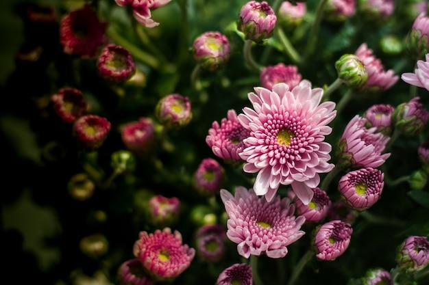 Mehrere rosa chrysanthemen beginnen zu blühen.