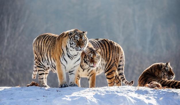 Mehrere sibirische tiger auf einem schneebedeckten hügel vor dem hintergrund der winterbäume. sibirischer tiger park.