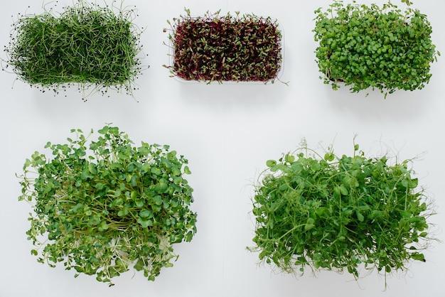 Mehrere sudochki sprossen mikrogrün nahaufnahme auf weißem hintergrund. gesunde ernährung und lebensweise.