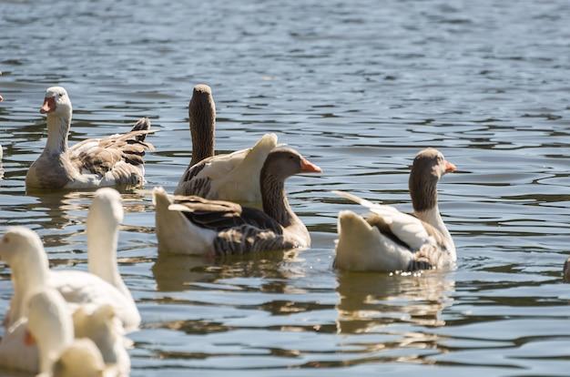 Mehrere weiße enten, die auf see in brasilien schwimmen