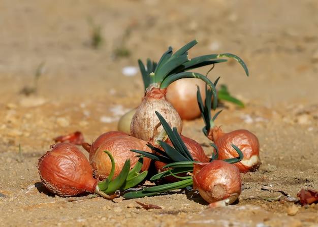 Mehrere zwiebeln die zwiebel (allium cepa l., auf den boden geworfen mit grünen federn