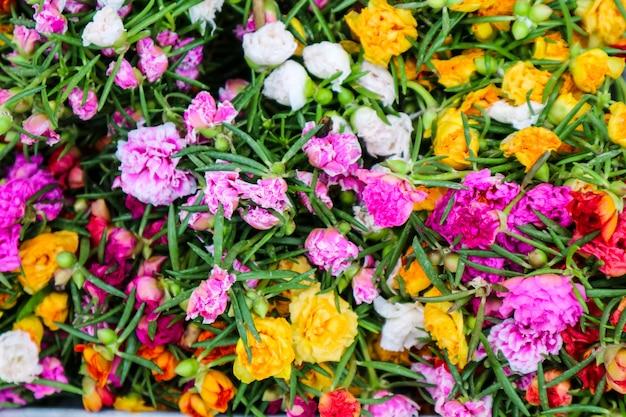 Mehrfarben der portulaca-grandiflorablume, die im garten blüht