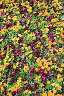 Mehrfarbenstiefmütterchenblumen oder draufsicht der stiefmütterchen
