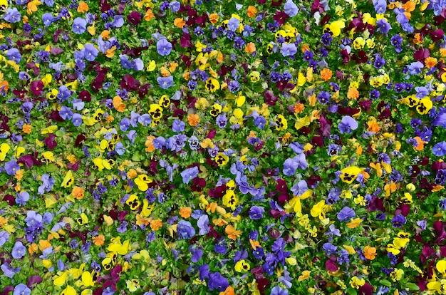 Mehrfarbenstiefmütterchenblumen oder -stiefmütterchen schließen oben