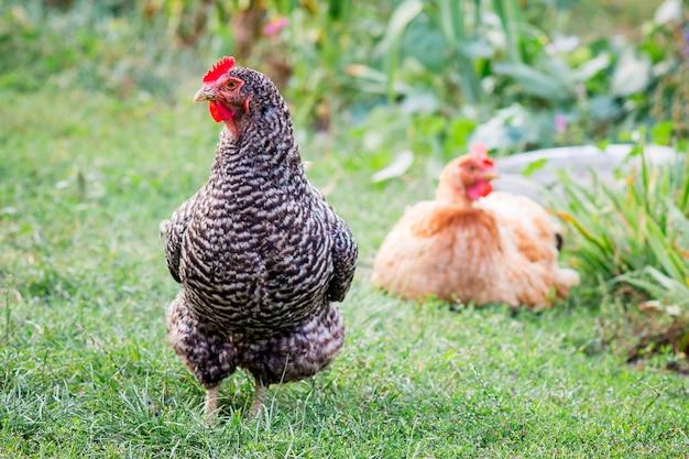 Mehrfarbige hühner in einem bauerngarten. hühner züchten und züchten