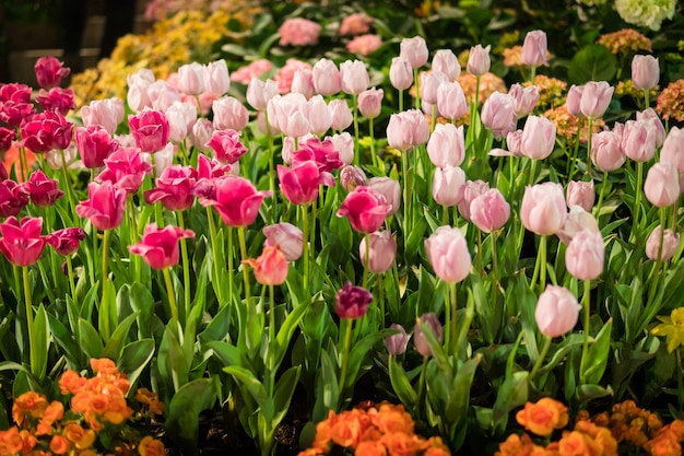 Mehrfarbige tulpen im garten.