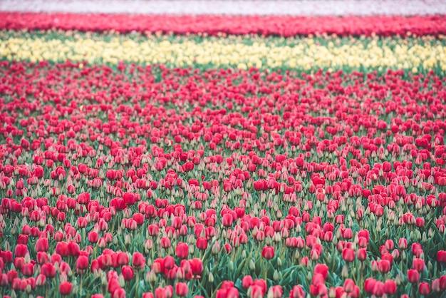 Mehrfarbiges tulpenfeld in den niederlanden