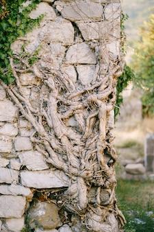 Mehrjährige efeuwurzel rollt auf einer steinmauer in der altstadt von bar in montenegro