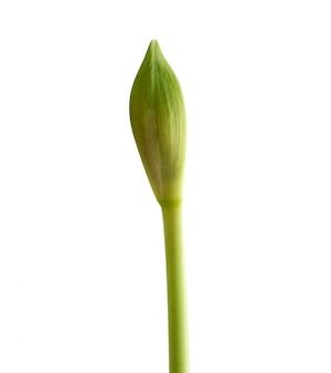 Mehrjährige zwiebelpflanze