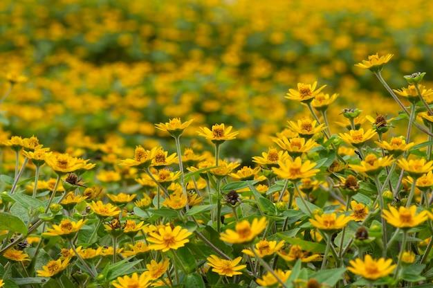 Melampodium butter gänseblümchen mini sonnenblume gelbe blume rudbeckia heliopsis helianthoides