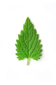 Melissenblatt oder zitronenmelisse lokalisiert. melissenblatt- oder zitronenmelissenmakro melissenblätter von verschiedenen größen lokalisiert. top vew