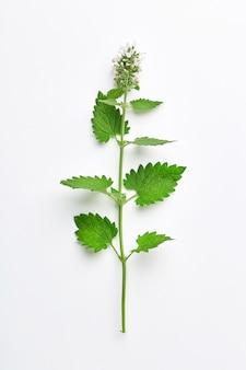 Melissenblatt oder zitronenmelisse lokalisiert. zweig der melisse mit dem blütenstand getrennt. ansicht von oben