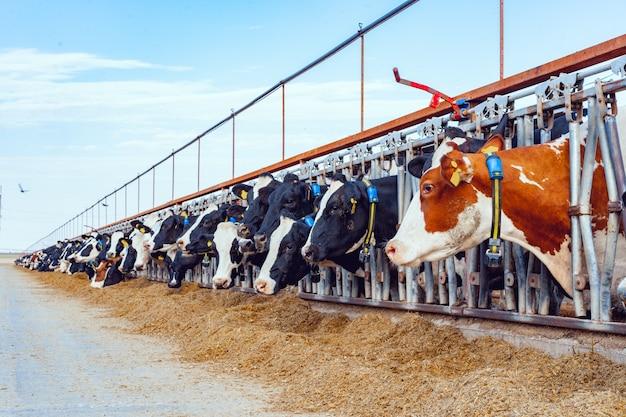 Melken von kühen, die heu in einem modernen freilandkuhstall essen