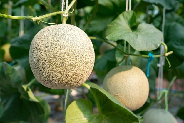 Melone, die grüne kantalupenmelonen in einer gewächshausfarm wächst