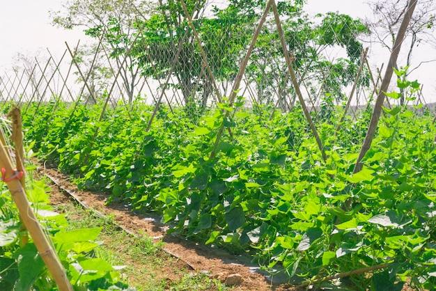 Melone melone pflanze