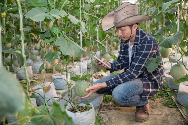 Melonen im garten, yong-mann, der melone im gewächshausmelonenbauernhof hält.
