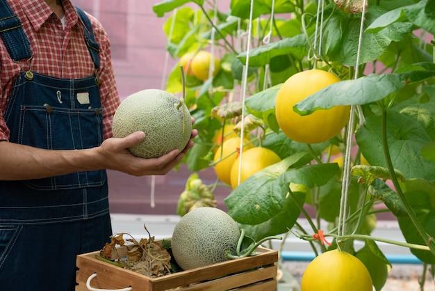 Melonen im garten