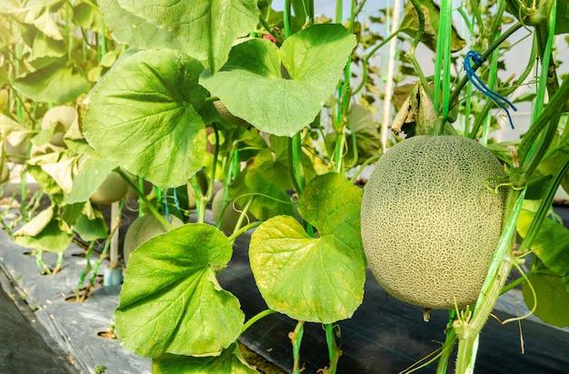 Melonen- oder kantalupenfrucht auf seinem baum