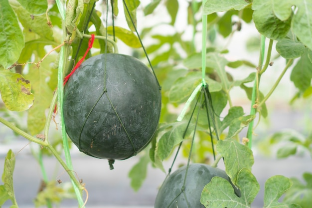 Melonenanbau im gewächshaus