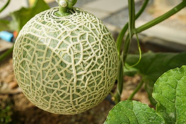 Melonenfrucht auf baum, der im gewächshaus wächst