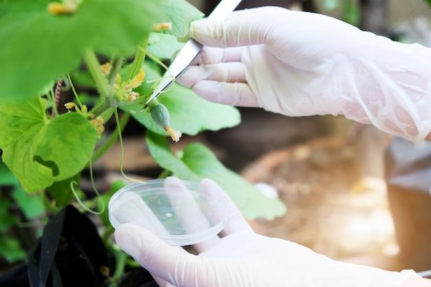 Melonengärtner entwickeln blumen und früchte zum testen im labor.