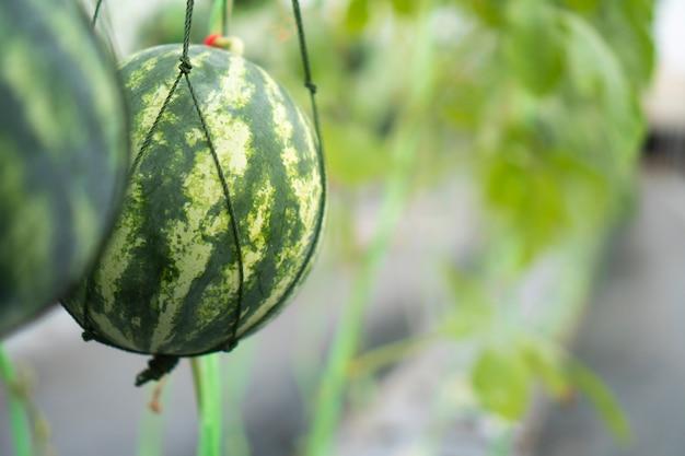 Melonenzucht im gewächshaus