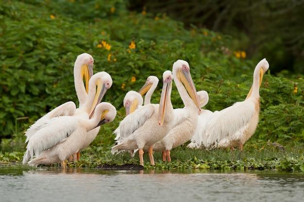 Menge der großen weißen pelikane auf naivasha see